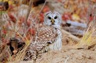 Barred Owl - Maureen Nelson
