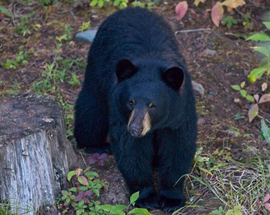 Bear By The Bunkhouse - Nancy