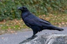 Nancy Cunningham Raven