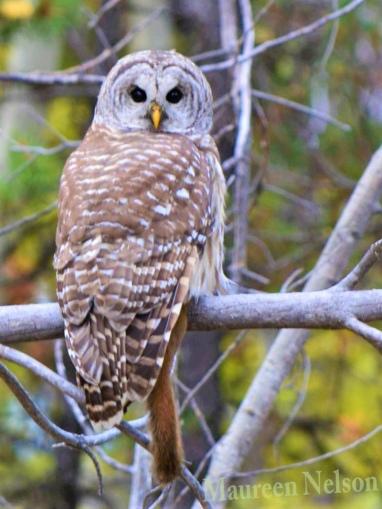 Owl at Edmunds Lake - Maureen Nelson